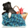Cute puppy in basket isolated on white — Stock Photo #18320587