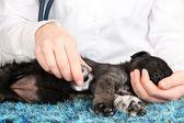 Tierarzt, die kontrolle der herzfrequenz des welpen — Stockfoto