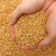 Man hands with grain, on wheat background — Stock Photo