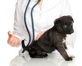 El cirujano veterinario está dando la vacuna a cachorro — Foto de Stock