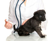 Veterinary surgeon is giving vaccine to puppy — Stok fotoğraf