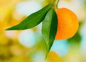 Mûr mandarine douce avec des feuilles, sur fond vert — Photo