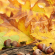 Brown acorns on autumn leaves, close up — Stock Photo #18426445