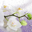 White beautiful orchid with drops on purple background - Stock Photo