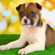 Beautiful little puppy on green grass on natural backgraund — Stock Photo