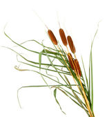 Reeds, isolated on white — Stock Photo