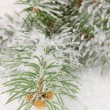 Spruce covered with snow — Stock Photo #18572931