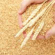 Man hands with grain, on wheat background — 图库照片