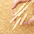 Man hands with grain, on wheat background — Stock Photo #18575099