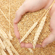 Man hands with grain, on wheat background — Stockfoto