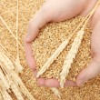 Man hands with grain, on wheat background - Foto Stock