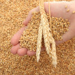 Man hand with grain, on wheat background - Stockfoto
