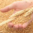 Man hand with grain, on wheat background — Стоковая фотография
