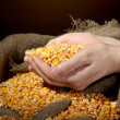 Man hands with grain, on brown corn background — Stock Photo #18575179