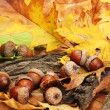 Brown acorns on autumn leaves, close up — Stock Photo #18595189