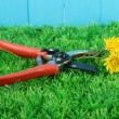 Secateurs with flower on grass on fence background — Foto Stock
