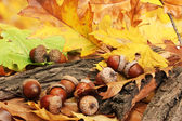 Brown acorns on autumn leaves, close up — Stockfoto