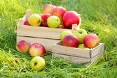 Crates of fresh ripe apples in garden on green grass — Stock Photo