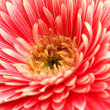 Beautiful gerbera flower, close up — Stock Photo