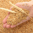 Man hand with grain, on wheat background - Foto de Stock