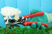Zahradnické nůžky s květem na plot pozadí — Stock fotografie