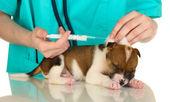 Hermoso perrito en una inspección por veterinario aislado en blanco — Foto de Stock