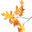 Twig of oak with autumn yellow leaves, isolated on white — Zdjęcie stockowe
