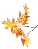 Kvist av ek med gula höstlöv, isolerad på vit — Stockfoto