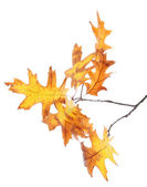 Twig of oak with autumn yellow leaves, isolated on white — Foto Stock
