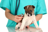 Beautiful little puppy on inspection by veterinarian isolated on white — Стоковое фото