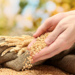 Man hands with grain, on green background - Photo