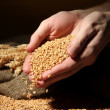 Man hands with grain, on brown background - Photo