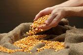 Manos del hombre con el grano, sobre fondo marrón maíz — Foto de Stock