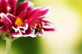 Ladybug on beautiful flower on green background — Stock Photo