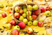 Korg med färska mogna äpplen i trädgården på höstlöv — Stockfoto