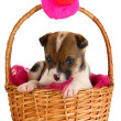 Beautiful little puppy in basket isolated on white — Stock Photo #18750349