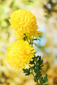 Bright yellow chrysanthemums, on green background — Stock Photo