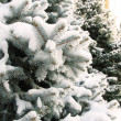 Spruce tree with fresh snow outside - Stock Photo