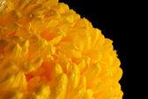 Bright yellow chrysanthemum, on black background — Stock Photo