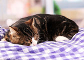 Cat on plaid in room — Stock Photo