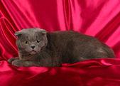 Cat on crimson cloth background — Stock Photo