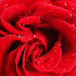 Red rose, close up — Stock Photo