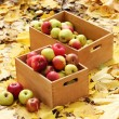 Crates of fresh ripe apples in garden on autumn leaves — Stock Photo