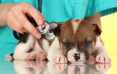 Bellissimo cucciolo sull'ispezione dal veterinario su sfondo giallo — Foto Stock