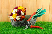 Secateurs with flowers in basket on fence background — Stock Photo