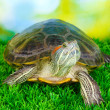 Royalty-Free Stock Photo: Red ear turtle on grass on bright background