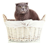 Cat in basket isolated on white — Stock Photo