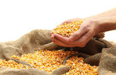Man hands with grain, isolated on white — Stock Photo