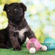 Cute puppy with shuttlecocks on green grass outdoor — Stock Photo