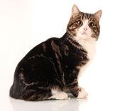 Cat isolated on white — Stock Photo